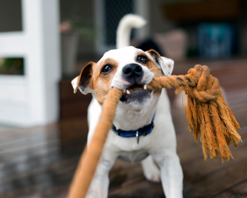 Dog pulling on a rope