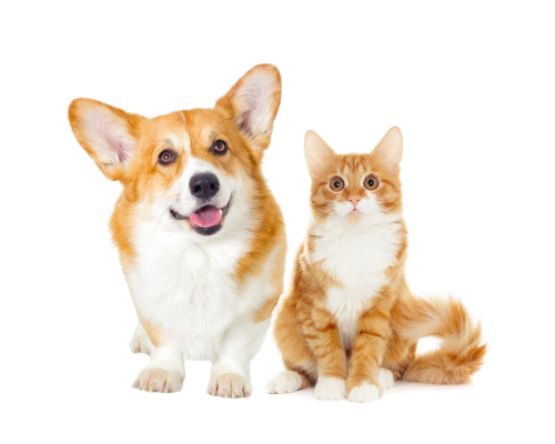 Corgie and cat