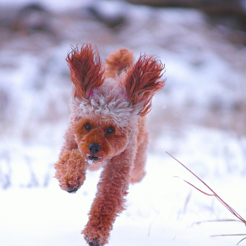 Poodle Running in the snow