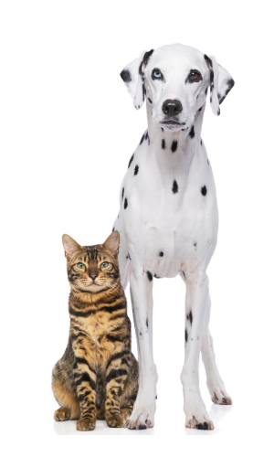 Dalmation & Calico cat